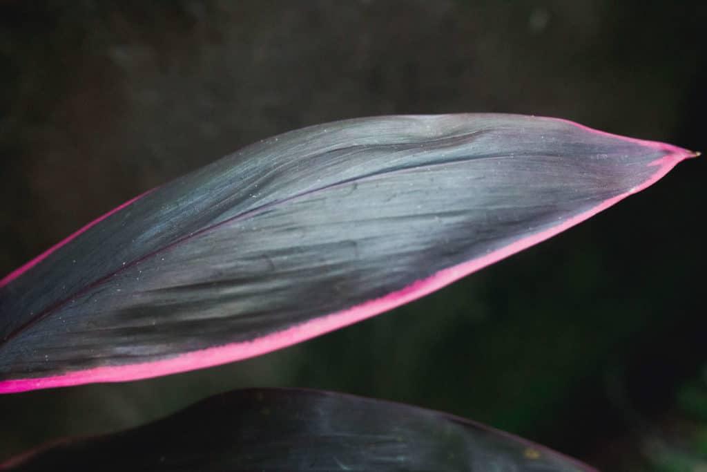 Bali-dark-green-pink-leaf