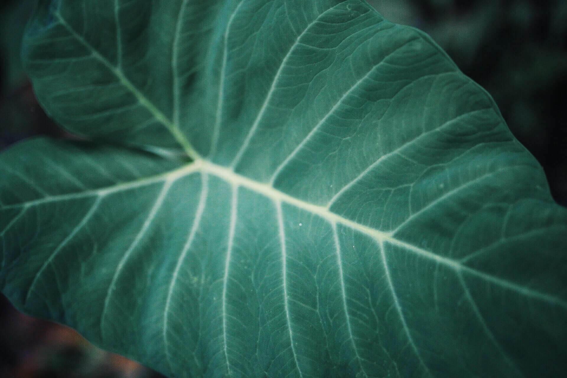 Hoja verde fotografiada en Bali